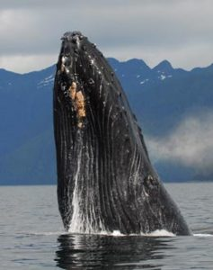 Welcome to Baranof Wilderness Lodge Whales